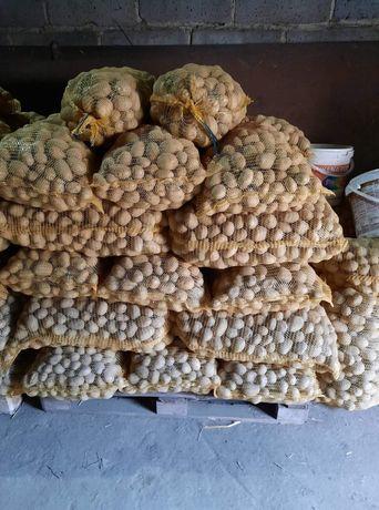 Ziemniaki 35_55mm Volumia Collomba Riviera Adora Nobblesse Vineta