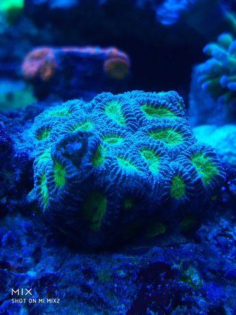 Favia niebiesko zielona fluo. Okolice Żyrardowa.