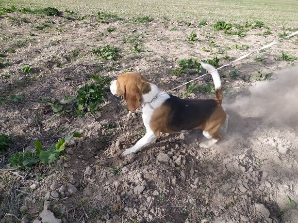 Pies beagle kawaler