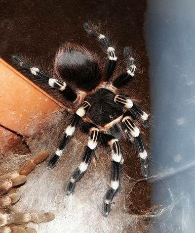Acanthoscurria Geniculata самка для новичков с доставкой птицеед паук