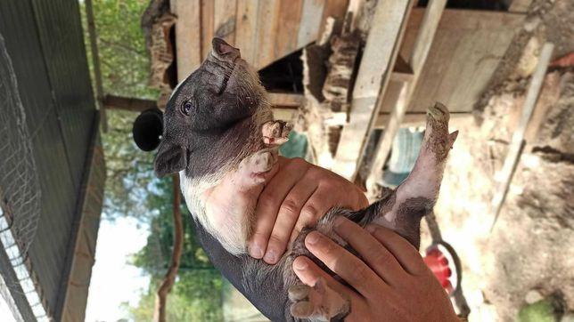 Porcos vietnamita bebés