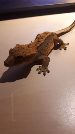 Gekon orzęsiony Correlophus ciliatus