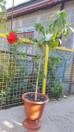 Китайская роза , гибискус