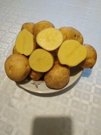 """Ziemniaki """"MIA"""" nowa odmiana, na samym oborniku."""