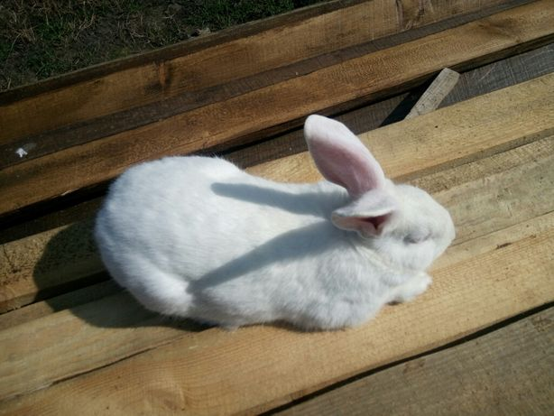 Продам КроликиТермонська біла