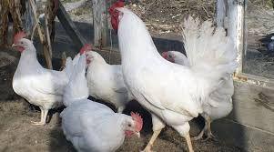 Кури , куры , курка , курочка 65 грн