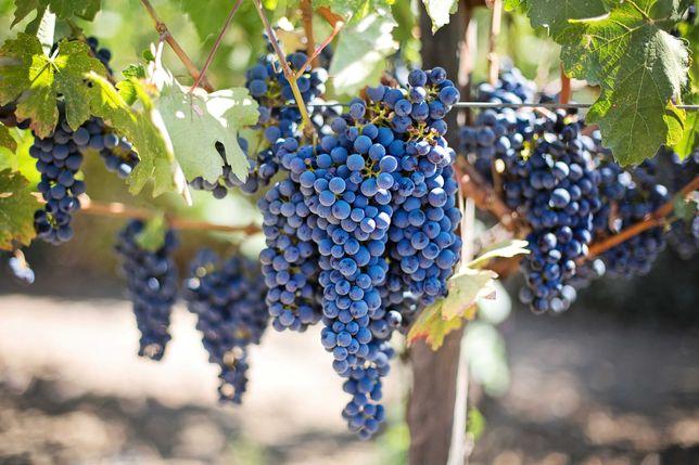 Uvas Tintas DO Alentejo & IGP Alentejano p/ produção de vinho