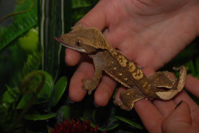 Ящерица для новичка - геккон бананоед, малыши. Продажа по Украине