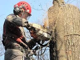 Спиливание деревьев. Спил деревьев с подвязкой ствола.