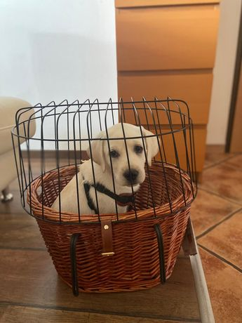 Labrador szczenie 3 miesięczne metryka