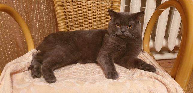 Кот британец приглашает на вязку кошечку!