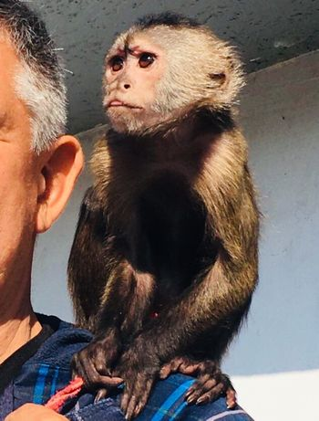 Обезьяна капуцин взрослая пара ,обезьянка Джунглипарк