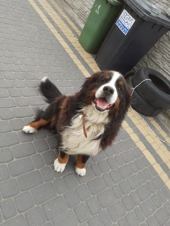 Berneński Pies pasterski, potężny masywny