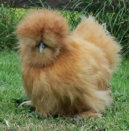 Инкубационные яйца Китайских пуховых (идет запись на цыплят)