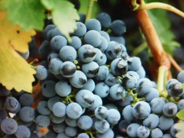 Домашій виноград Ізабела
