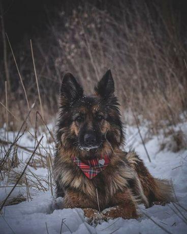 Piękna psia dama w typie rasy owczrek niemiecki szuka cudnego domu !