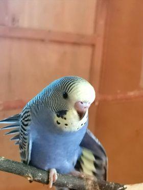 Попугаи только с гнезда. Спешите .Самые красивые малыши получехи.
