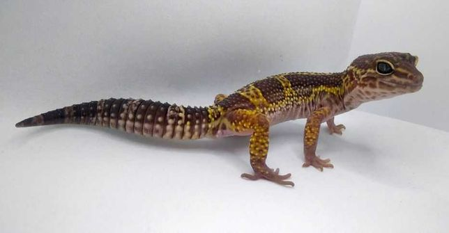 Piękny samiec gekona lamparciego