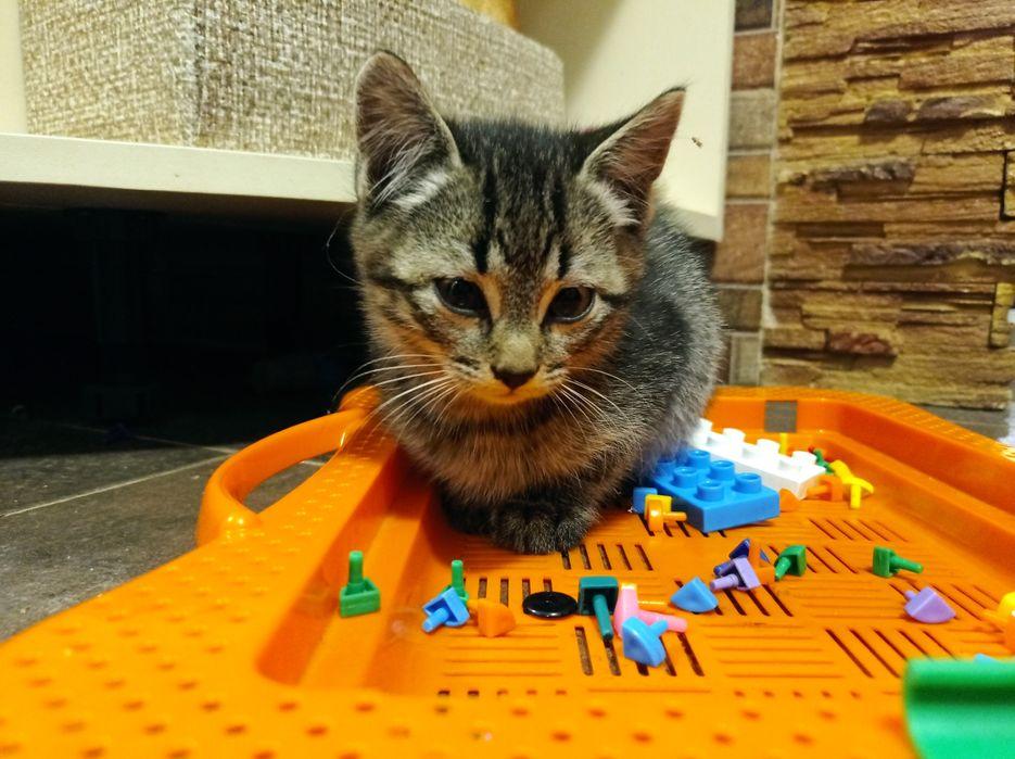 Британський котик БЕЗКОШТОВНО Тернополь - изображение 1