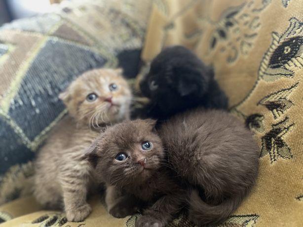 Шотладские вислоухие котята ищут новый дом