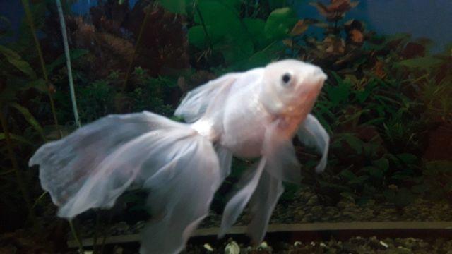 Продам Белого самца Золотая Рыбка