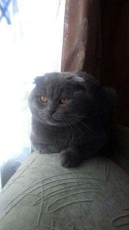 Шотландський висловухий  кіт  на  в'язку