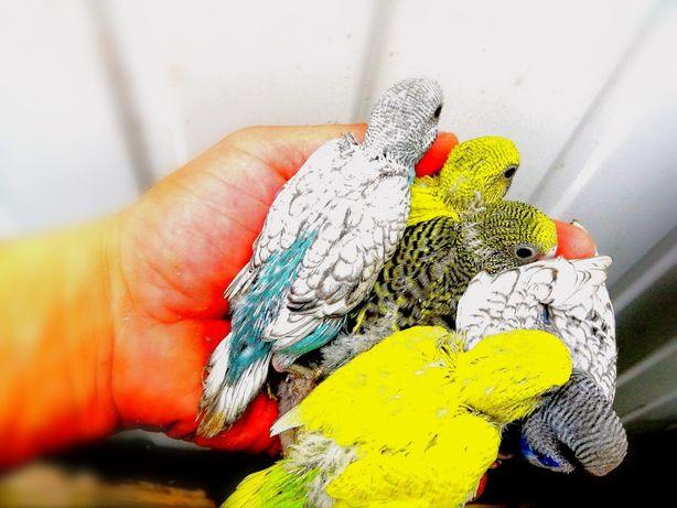 Папужки  папужки