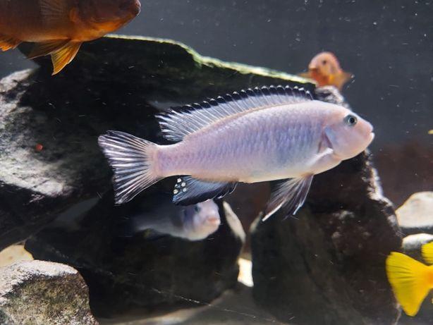 Pyszczak Chindongo SOCOLOFI Tumbi Point Młode Pielęgnice z FishMagic