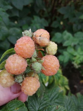 Malina żółto-kremowa owocująca na rocznych pędach - sadzonki