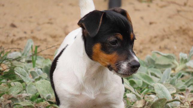 Jack Russell Terrier/BREFIO- suczka gładkowłosa-do odbioru