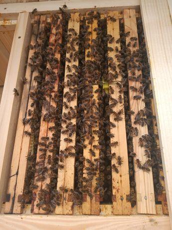 Odkłady pszczele, pszczoły