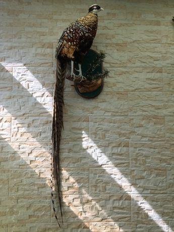 Чучело фазана королевского продам.