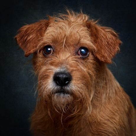 Rafinha - cão de porte médio / pequeno