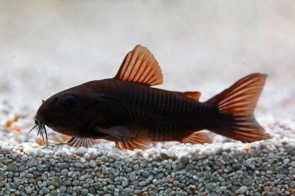 KG- Kirys kirysek czarny