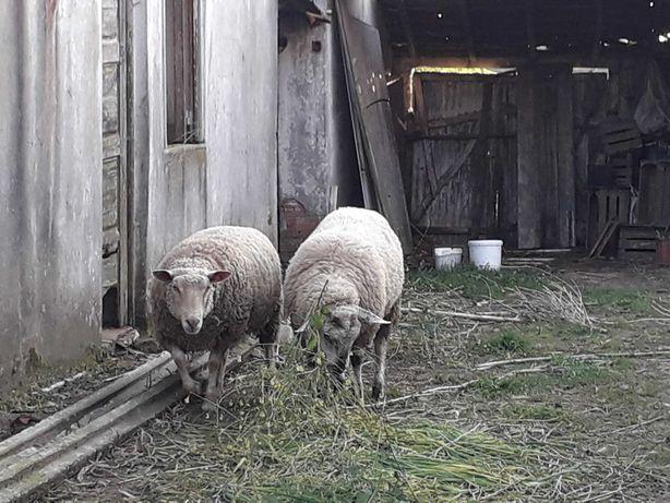 Vendo carneiro de raça