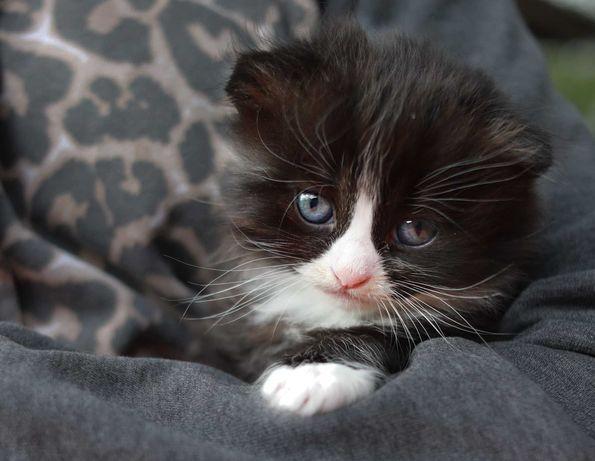 котенок бесплатно мальчик вислоухий с нереально красивым окрасом