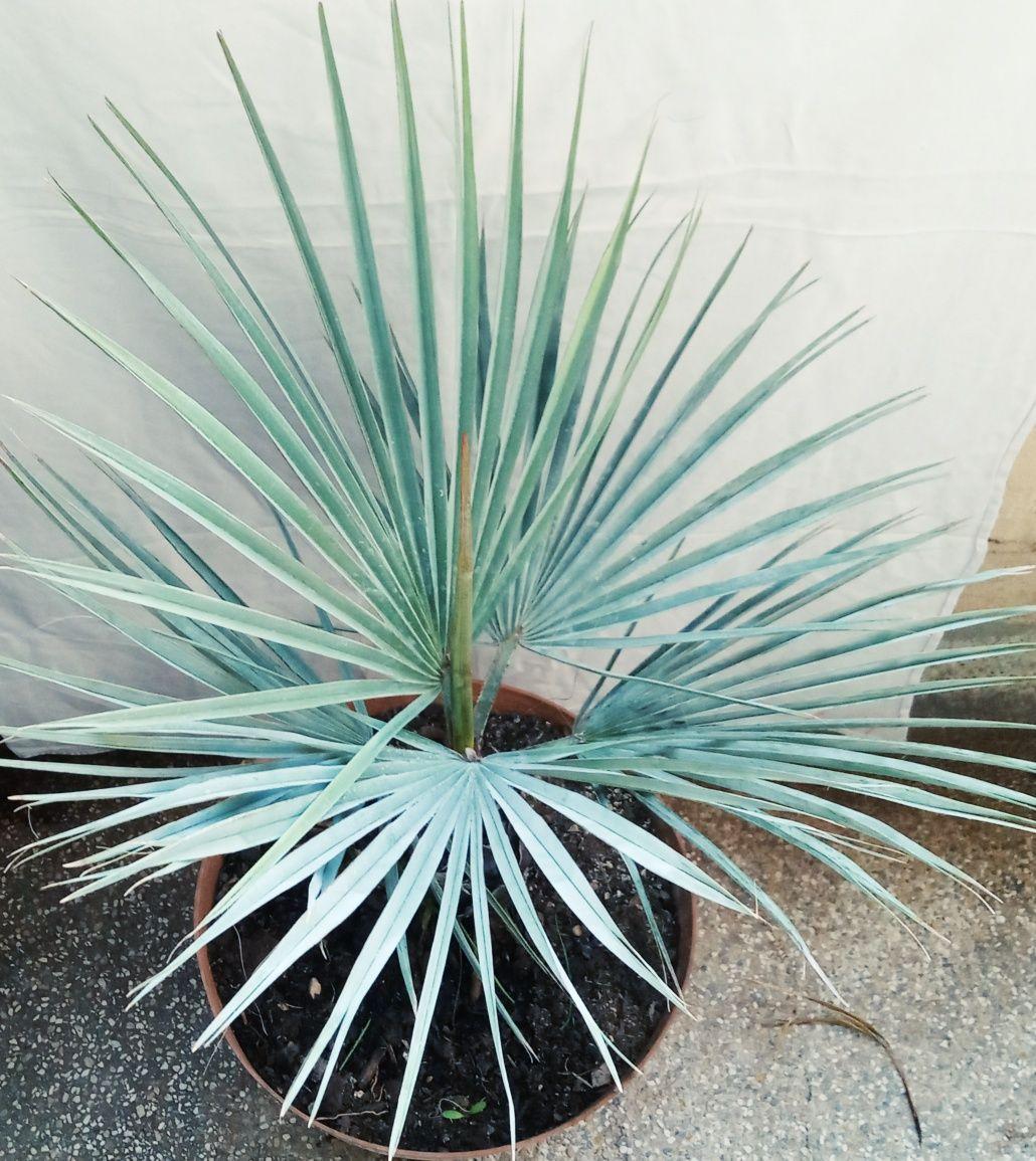 Espetacular palmeira azul mexicana, Brahea armata