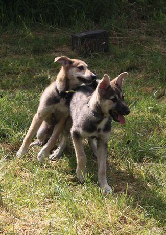 łajka zachodniosyberyjska szczeniak za darmo, adopcja