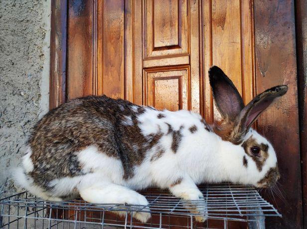 Кролики, тушка кролика