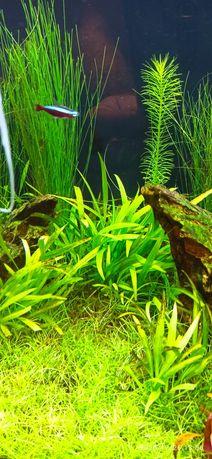 Echinodorus Quadricostatus ŻABIENICA - rośliny akwariowe