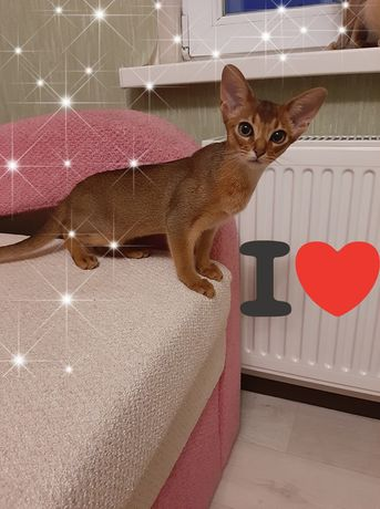 Абиссинский котенок!