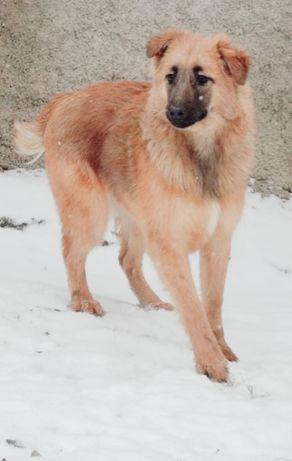 Метис вівчарки дівчинка 5,5 міс вакцинована
