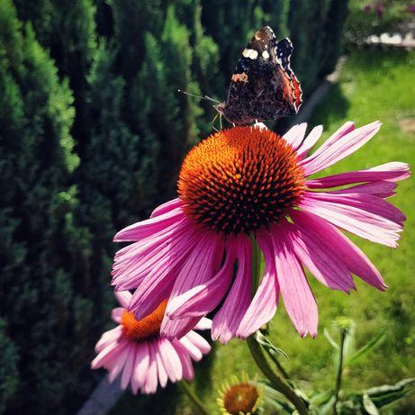 Nasiona Jeżówka Purpurowa Echinacea 10g