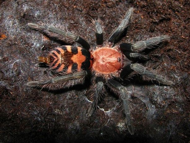 Pająk Ptasznik Davus Pentaloris samiczka