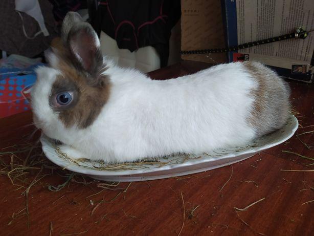 Cudny niebieskooki królik miniaturka Karzełek lew 10 mieŚ. samczyk