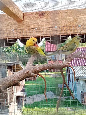 """Sprzedam papugi """"Nimfy"""""""