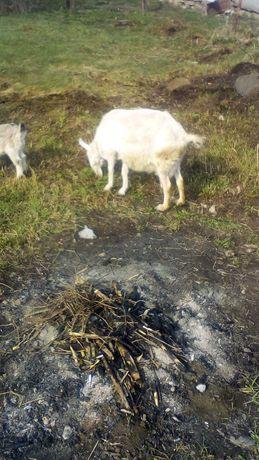 Продам козу 3 рокы