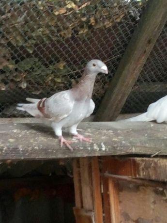 голуби  немецкие