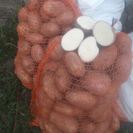 Ziemniaki Irys i Irga -białe Bzura- jasno żóte1 zł za kg