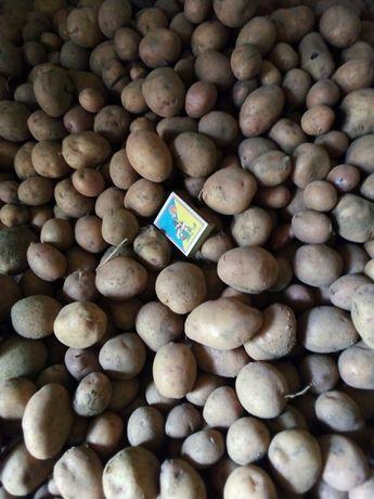 Продам картоплю посадкова/дрібна